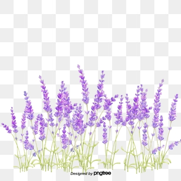 Lavender PNG Images, Download 474 Lavender PNG Resources.