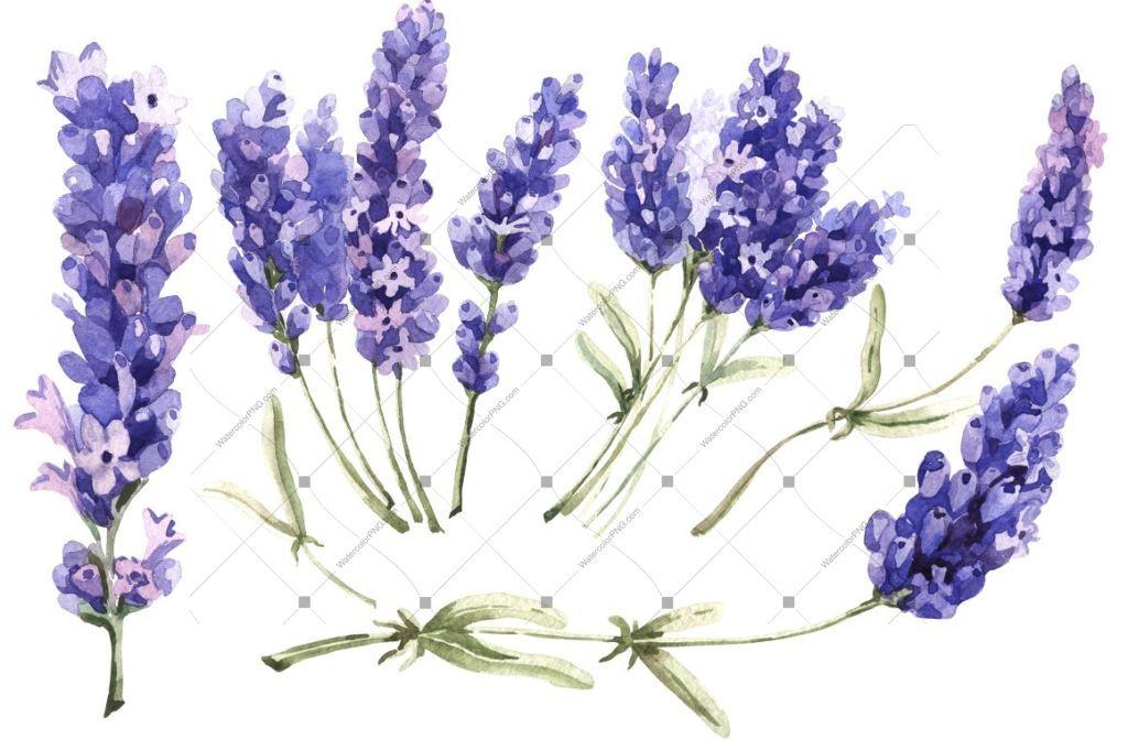 Lavender PNG flowers in watercolor.