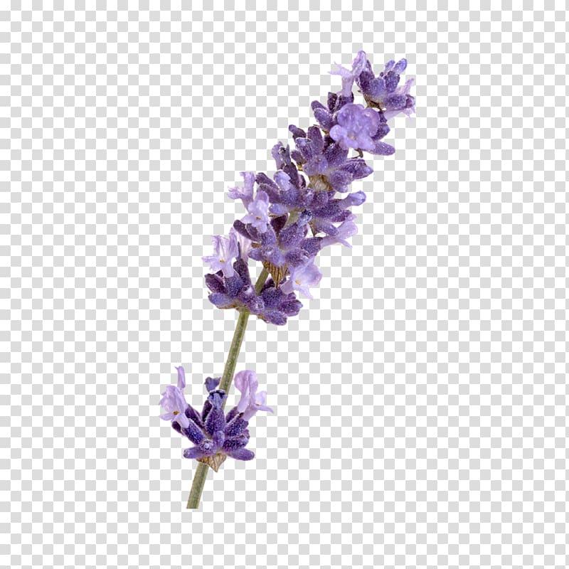 English lavender French lavender Flower, others transparent.