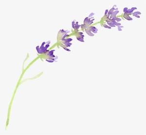 Lavender PNG, Transparent Lavender PNG Image Free Download.