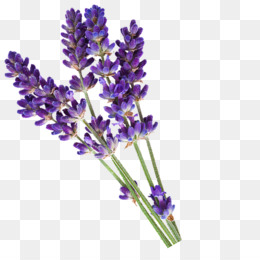 Lavender Png (111+ images in Collection) Page 1.