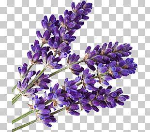 Lavender PNG Images, Lavender Clipart Free Download.