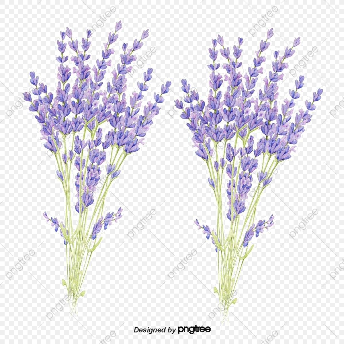 Vector Lavender, Lavender, Green, Flower PNG and Vector with.