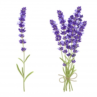 Lavender Vectors, Photos and PSD files.