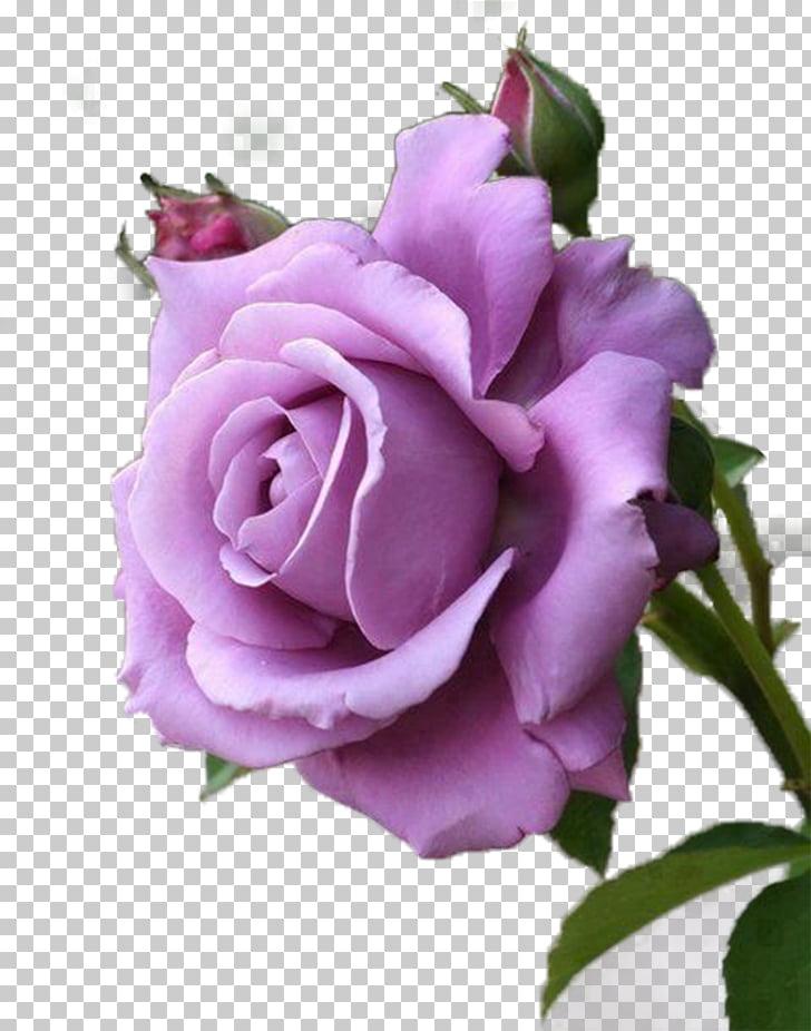 Rose Purple Lavender Flower Red, Purple Rose, pink rose.