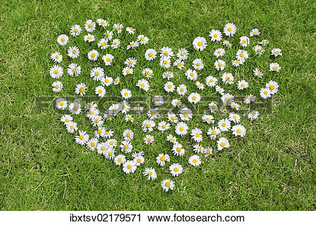 Stock Photography of Heart made of daisies on lawn ibxtsv02179571.