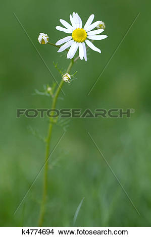 Stock Photo of Lawn Daisy (lat. bellis perennis) with green.