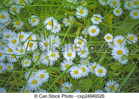 Stock Photo of Bellis perennis Common daisy covering a lawn.