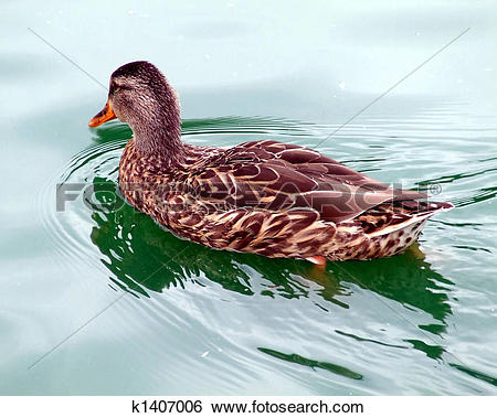 Stock Images of Duck on a Lazy Afternoon k1407006.