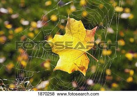 Pictures of a maple leaf caught in a spider's web 1870258.