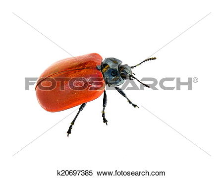 Stock Image of Red leaf beetle k20697385.