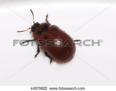 Stock Photo of Portrait of a Leaf Beetle (Gonioctena viminalis.