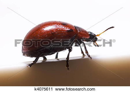 Stock Photography of Sideview of a Leaf Beetle (Gonioctena.