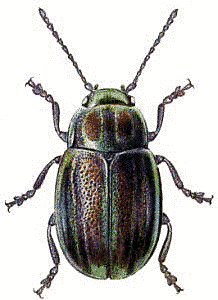 Rainbow Leaf Beetle Clip Art Download.