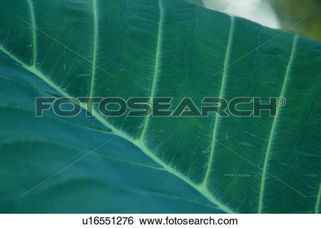 Stock Images of Leaf Blade u16551276.