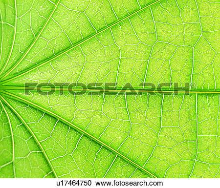 Stock Photography of green, vein, leaf, blade, pattern u17464750.