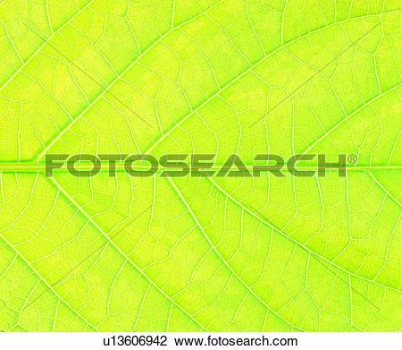 Stock Photo of vein, netted veins, green, broadleaf, nerve, leaf.