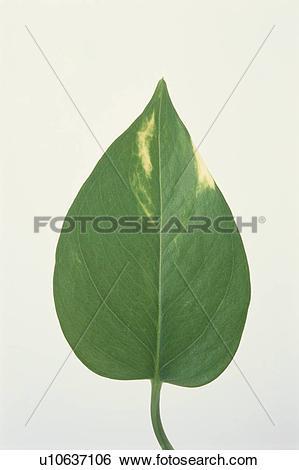 Stock Images of Leaf Blade u10637106.