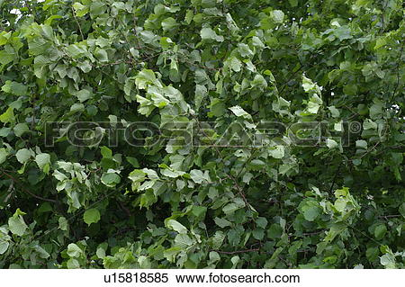 Stock Image of leaf, gust of wind, leaves, blades, tree, trees.