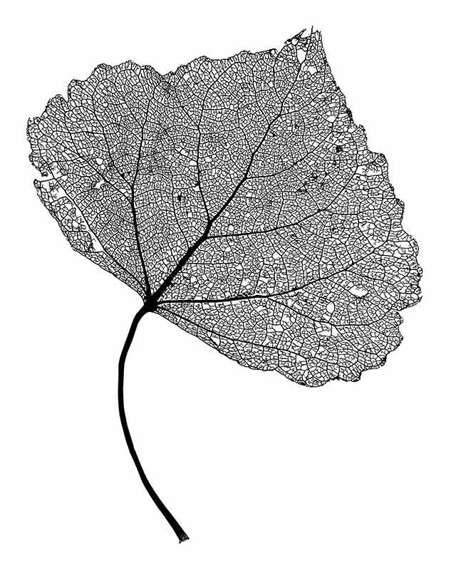 1000+ images about leaf skeleton on Pinterest.