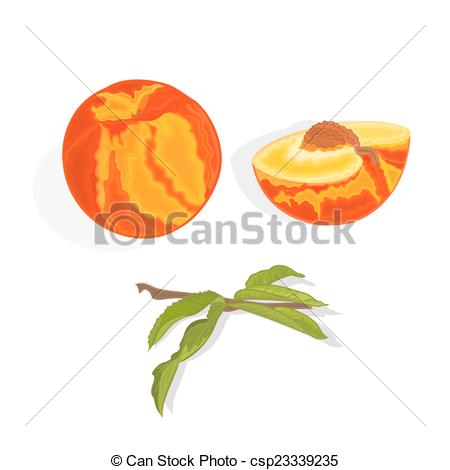 Vectors of Peach with leaf, slice and half with bone healthy food.