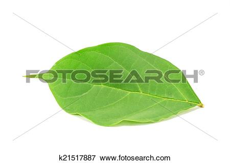 Picture of Broken Bones leaf isolated on white background.