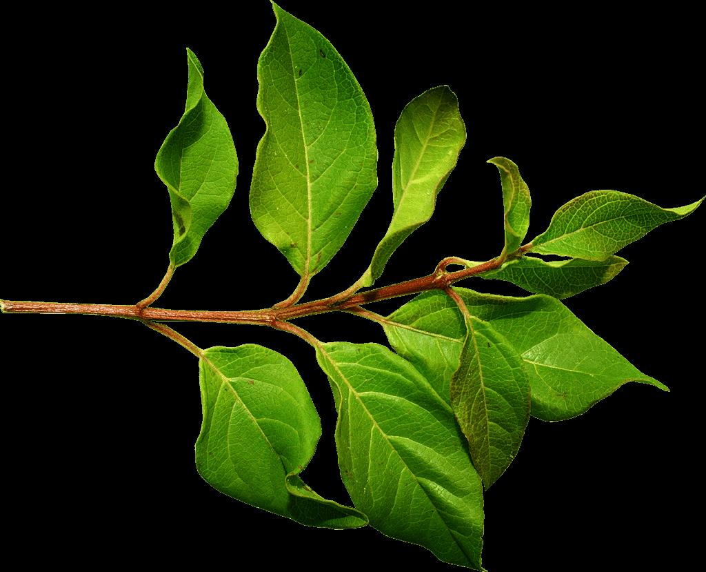 Branch Green Leaf transparent PNG.
