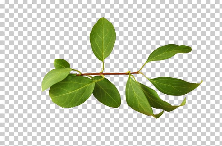 Branch Leaf PNG, Clipart, Autumn Leaves, Banana Leaves.