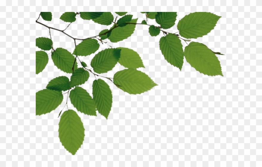 Birch Clipart Branch Leave.