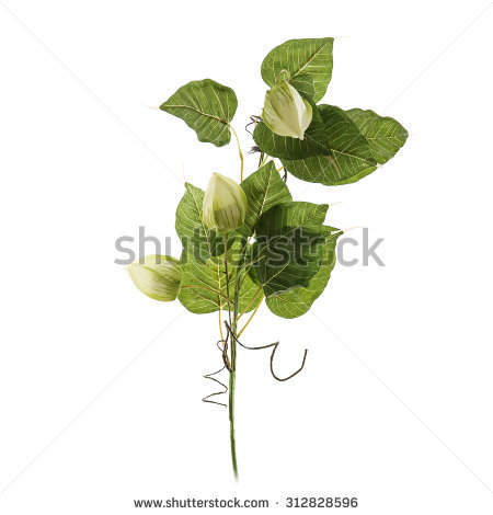 Walking Stick Insect Leaf Insect Phyllium Stock Photo 238140268.