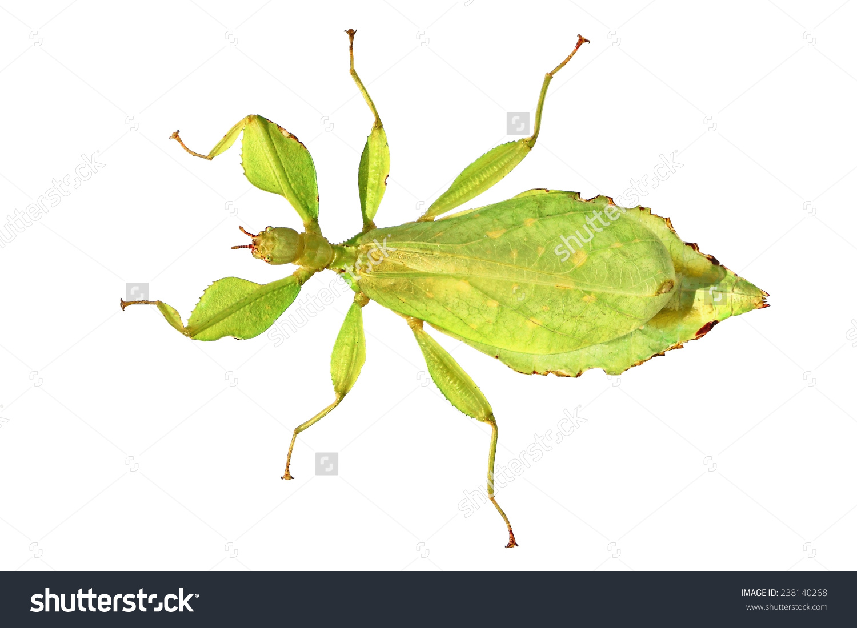 Leaf bug clipart.