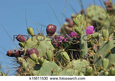 Stock Photography of Prickly pear, cactus blooming and fruiting. A.