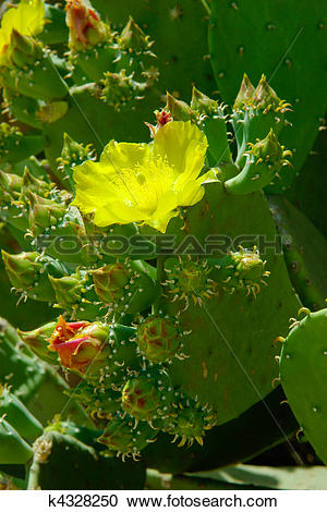 Stock Photography of Flowering cactus. Beautiful yellow flower and.