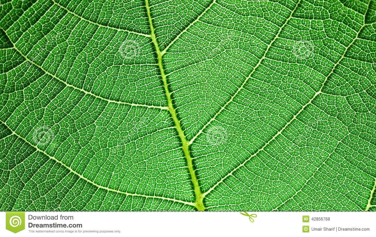 Leaf Capillary Network Stock Photo.