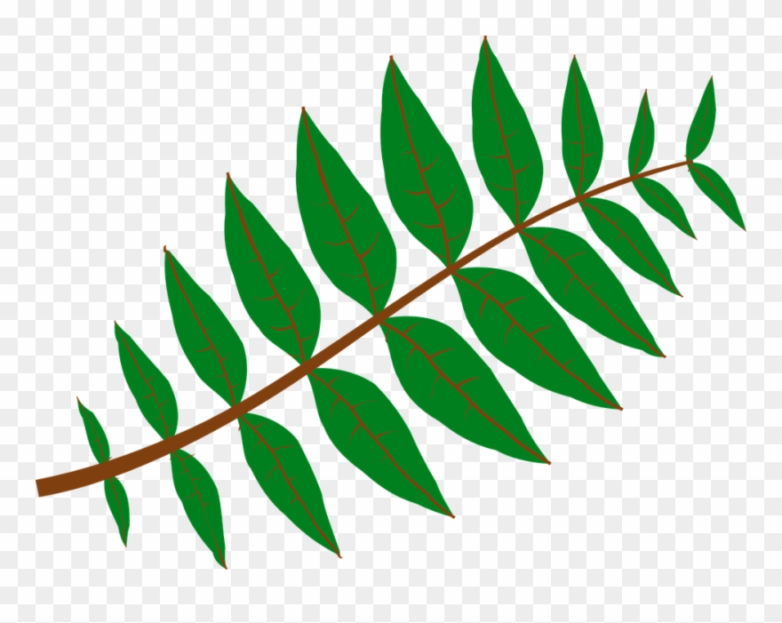 Pinnate Leaf Large 900pixel Clipart, Pinnate Leaf Design.