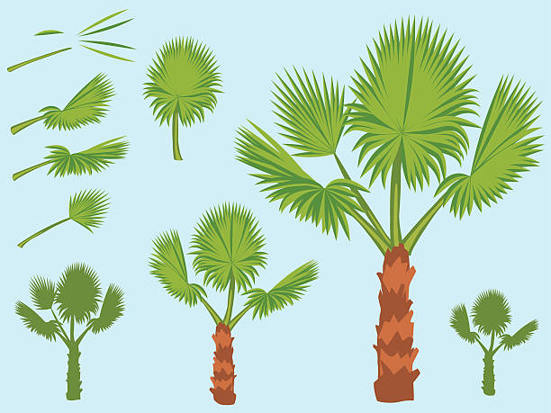 Fan Palm Clip Art, Vector Images & Illustrations.