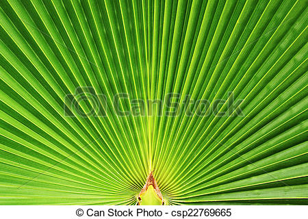 Stock Image of leaf fan palm.