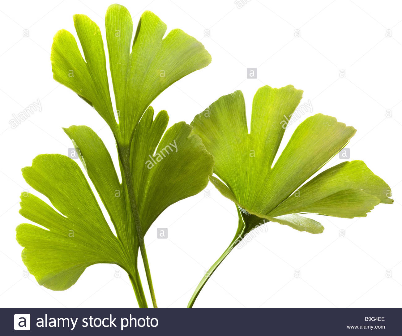 Green Leaves Fan Out Stock Photos & Green Leaves Fan Out Stock.