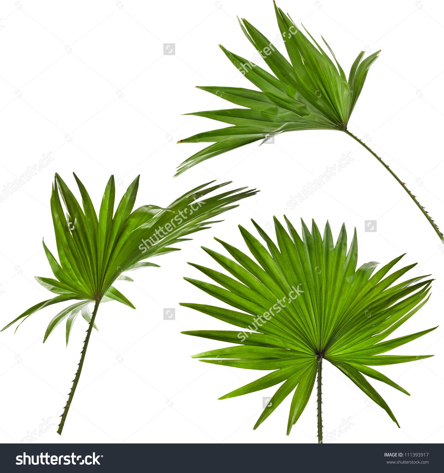 Anahaw Leaf Clip Art.