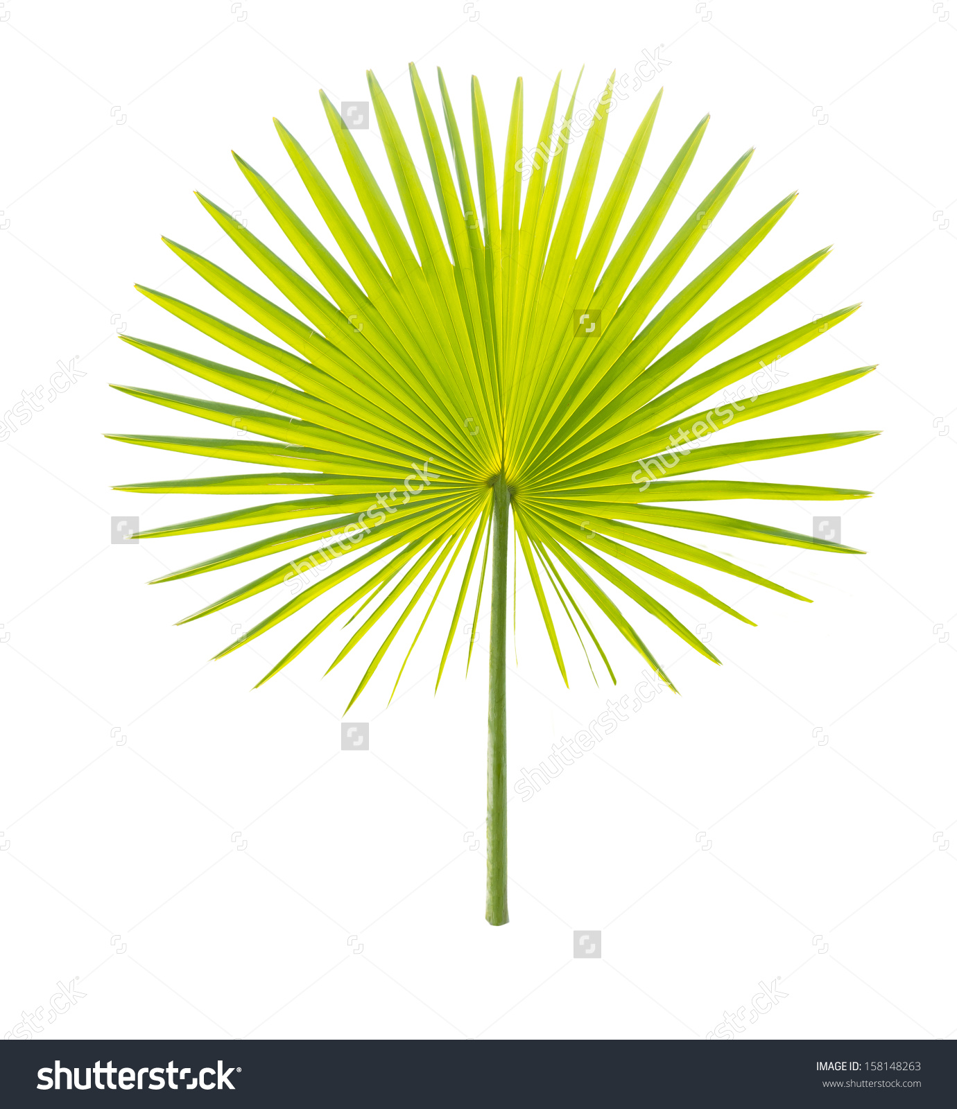 Green Palm Leaf Isolated On White Stock Photo 158148263.