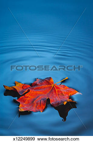 Stock Photograph of Maple leaf floating on water, close.