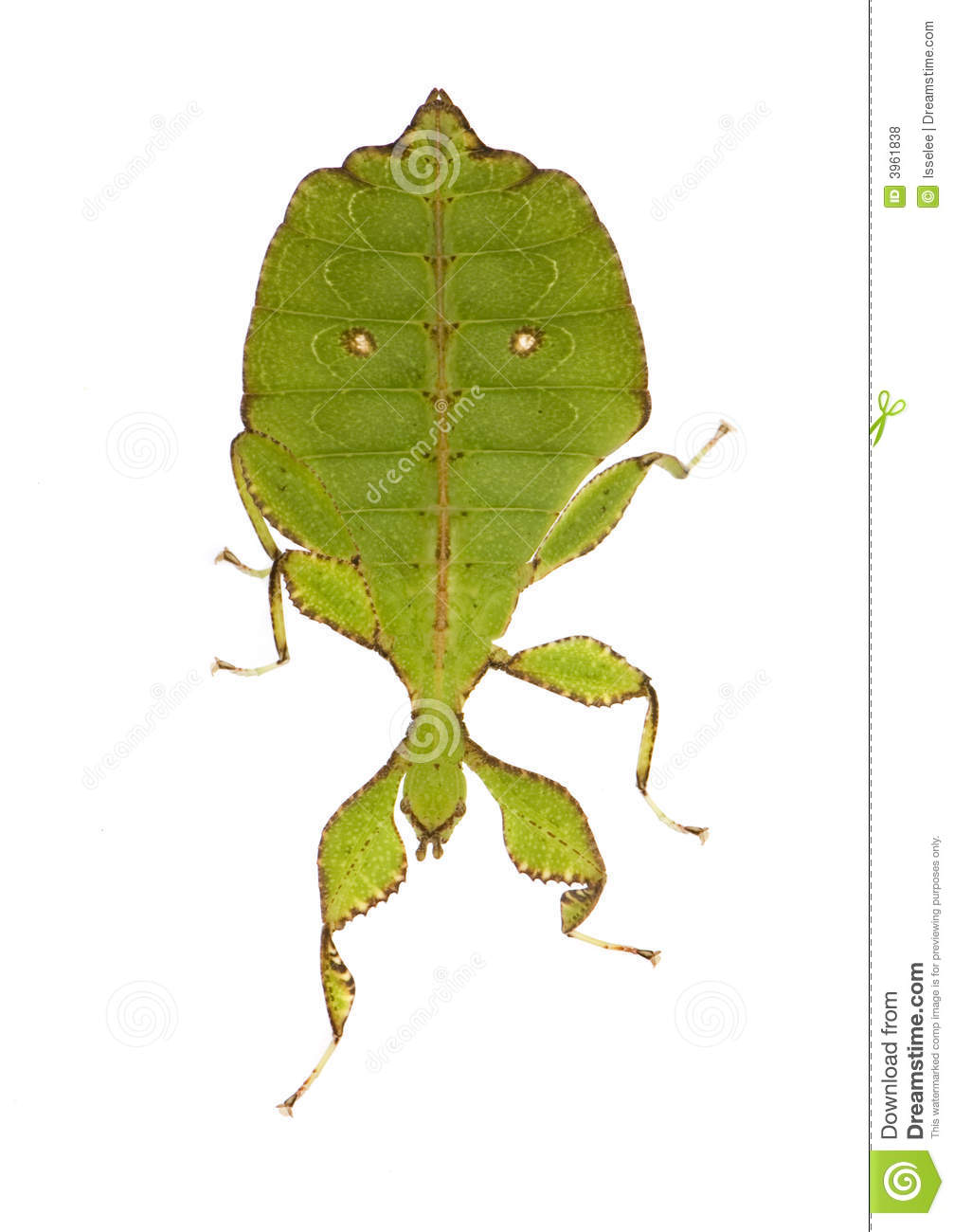 Leaf Insect, Phylliidae.