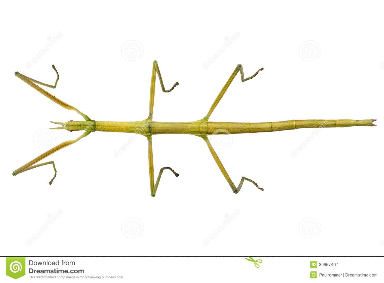 Spanish Walking Stick Insect Species Leptynia Hispanica Royalty.