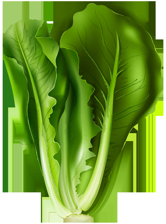 Lettuce PNG Clip Art Image.