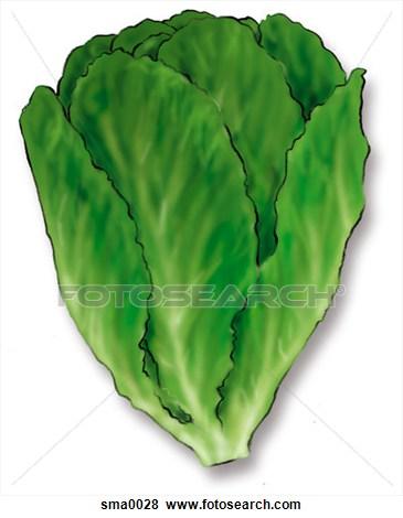 Clipart lettuce.