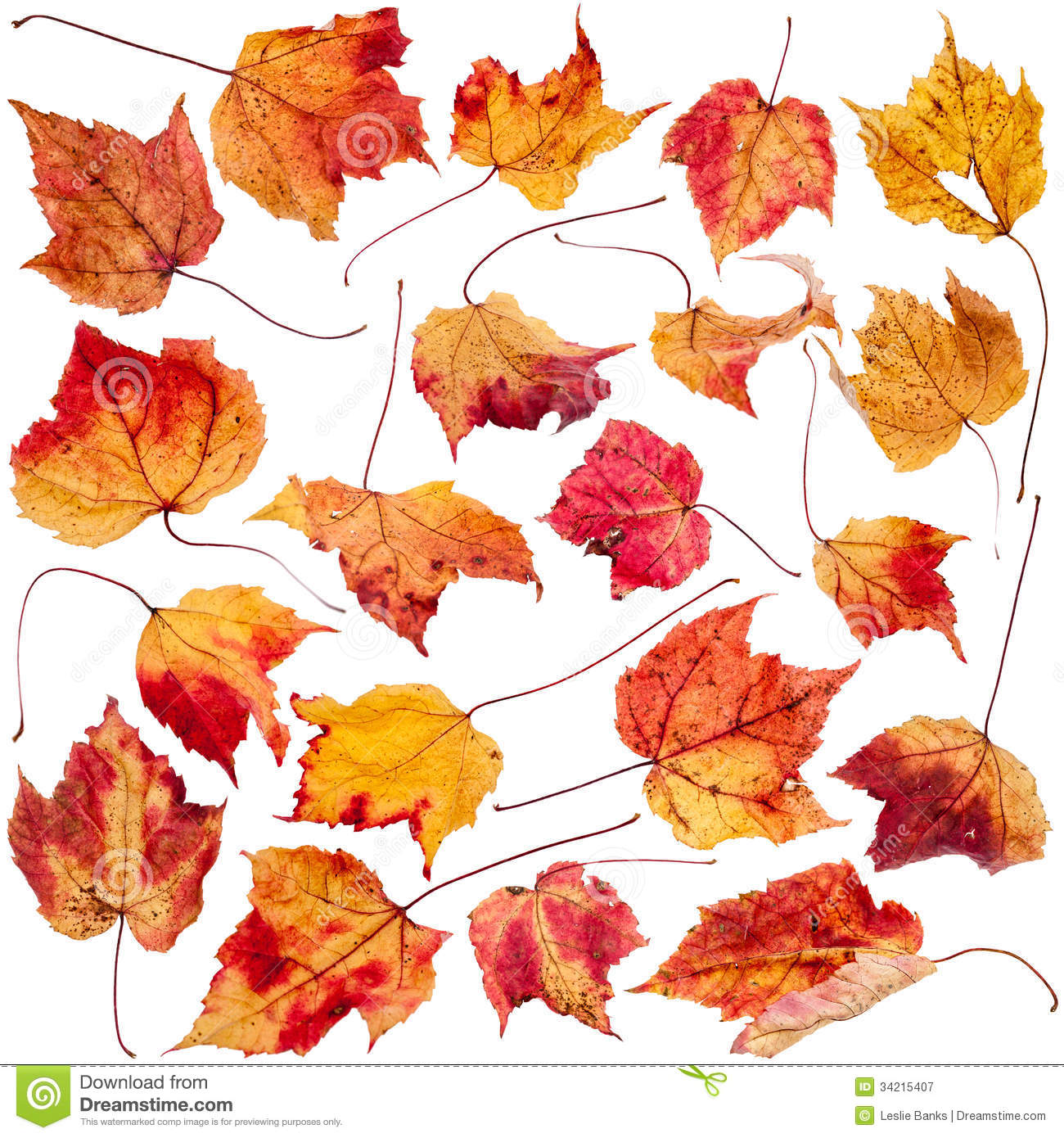 Dried Maple Leaf Collection Royalty Free Stock Photography.