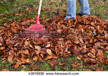 Pictures of Rake leaves. Leaves. Gardening in the fall. k3916938.