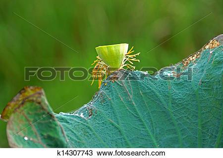 Stock Photo of Green leaves of Roseum Plenum Lotus. Nelumbo.