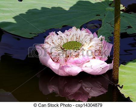 """Picture of Roseum Plenum Lotus. Nelumbo nucifera Gaertn. """"Roseum."""