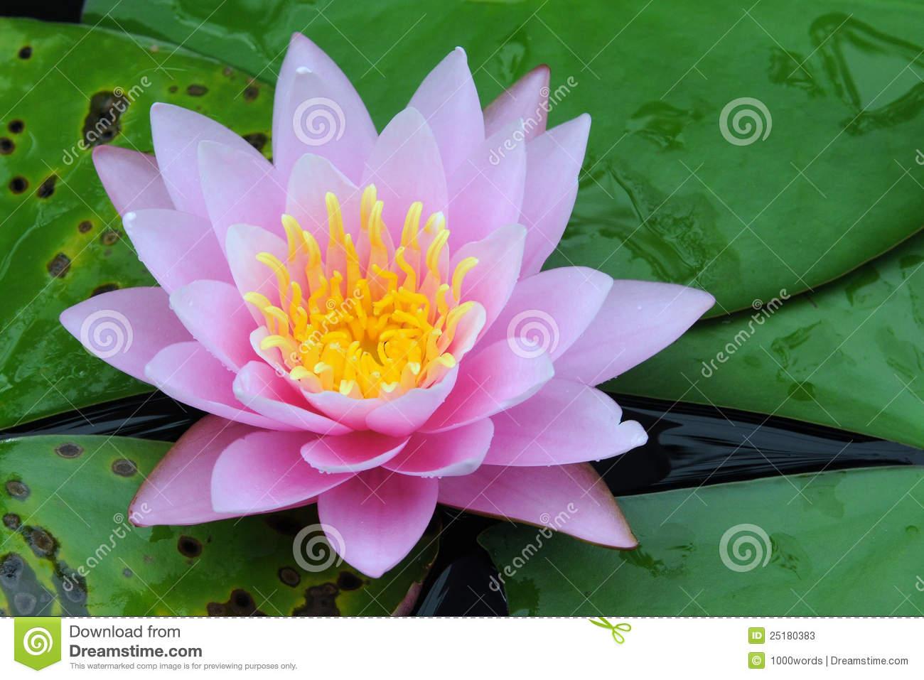 Indian Lotus (Nelumbo Nucifera) Stock Photos.